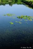 (Lagarosiphon major) Curly Leaved Waterweed
