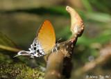 (Neocheritra amrita)Grand Imperial