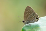 (Nacaduba pactolus) The Large Fourline Blue ♂