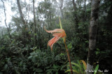 (Coelogyne planiscarpa)