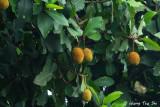 (Artocarpus odoratissimus) Terap
