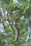 (Nepenthes macrovulgaris)