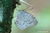 (Allotinus unicolor) Lesser Darkwing