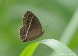 (Mycalesis perseoides)  The Burmese Bush Brown