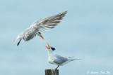 Gulls, Terns, Skuas and Noddies