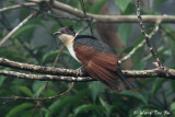 Cuckoos, Malkohas and Coucals