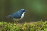 Robins, Forktails, Chats, Fruithunter, Shortwing and Thrushes