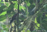 Babblers, Laughingthrushes and Erpornis