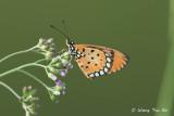 (Acraea terpsicore) Tawny Coster