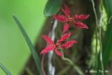 (Renanthera bella)