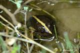 (Limnonectes hikidai) Rivulet Frog