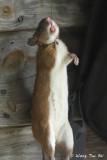 (Leopoldamys sabanus) Sabah Giant Rat