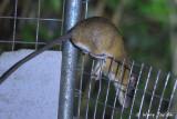 Squirrel, Treeshrew and Rat Images