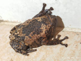 (Kaloula baleata) Brown Bullfrog