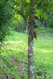 (Dendrobium secundum)Toothbrush Orchid