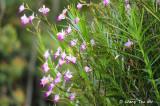 (Arundina graminifolia)