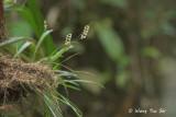 (Dendrochilum muluense)