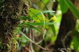(Bulbophyllum unguiculatum) The Clawed Bulbophyllum