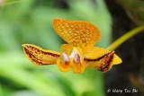 (Bulbophyllum dearei)