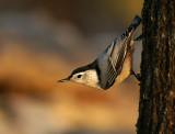 Songbirds of North Alabama