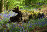 Blue Bell Wood Hatchlands Park Surrey