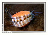 290 Spiny pink scallop (Chlamys hastata), Shark Point, Tahsis Inlet