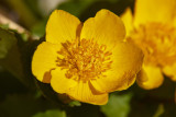 KabbelekaMarsh-marigoldCaltha palustris