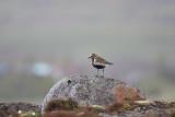 LjungpiparePluvialis apricariaEuropean Golden-Plover
