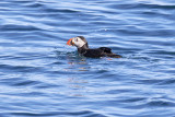 LunnefågelAtlantic PuffinFratercula arctica