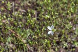 Appalachian Stitchwort 1