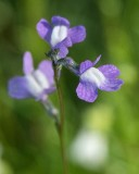 Blue Toadflax 1