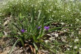 Hairy-stem Spiderwort 1