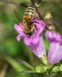 Bee on Purple False Foxglove