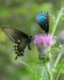 Pipevine Swallowtail 4