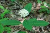Redring Milkweed 2