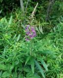Fireweed 1