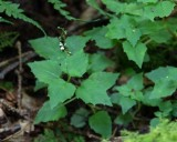 Alpine Enchanter's Nightshade 1