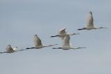 vogels L tot en met S, birds from L up to S