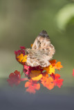 vlinders, butterflies
