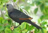 02 Red-Winged Starling Onychognathus morio Cape Town Feb 2018.jpg