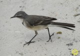 05 Cape wagtail, also known as Wells's wagtail, Motacilla capensis.jpg