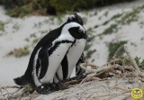 09 Penguin African Penguin Spheniscus demersus Cape of Good Hope 2018.jpg