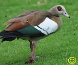 11  Egyptian goose Alopochen aegyptiaca Cape Town 2018.jpg
