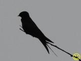 13  Swallow.jpg