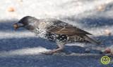 17 Common starling Sturnus vulgaris.jpg