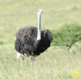 21 Ostrich or Common ostrich Struthio camelus Tala game reserve 201.jpg