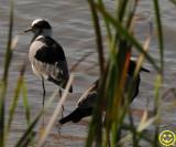 22 Lapwing  Blacksmith lapwing  Vanellus armatus Tala game reserve 2018.jpg