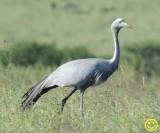 23 Blue crane Grus paradisea Tala game reserve Durban 2018.jpg