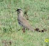 24 Crowned lapwing Vanellus coronatus Tala game reserve Durban 2018.jpg