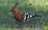 26 African hoopoe Upupa africana Tala game reserve Durban 2018.jpg